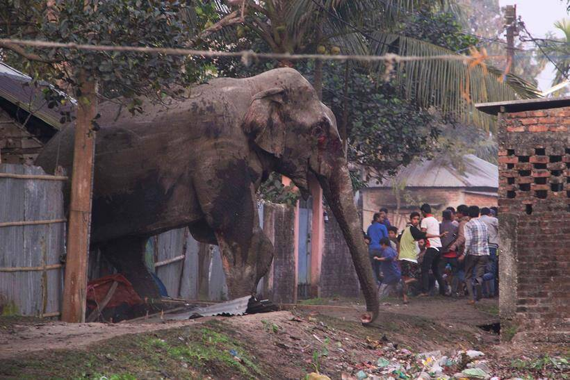 Elephant rampage, Elephant in siliguri, Elephant rampages siliguri, Elephant rampages photos, Elephant rampages news