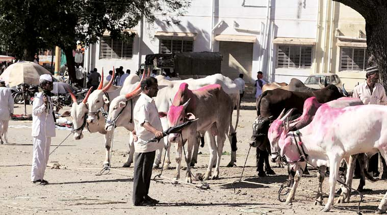 Farmers bringing their livestock for sale at the Manchar cattle market in Pune district. (Express Photo by: Sandeep Daundkar)