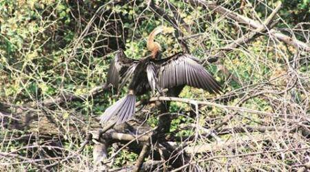 Oriental Darter: Once easy to sight but is rarely spottednow