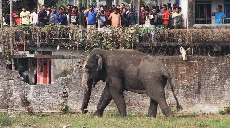 People stand on rooftops to watch a wild elephant that strayed into the town stands after authorities shot it with a tranquilizer gun at Siliguri in West Bengal state, India, Wednesday, Feb. 10, 2016. The elephant had wandered from the Baikunthapur forest on Wednesday, crossing roads and a small river before entering the town. The panicked elephant ran amok, trampling parked cars and motorbikes before it was tranquilized. (AP Photo)