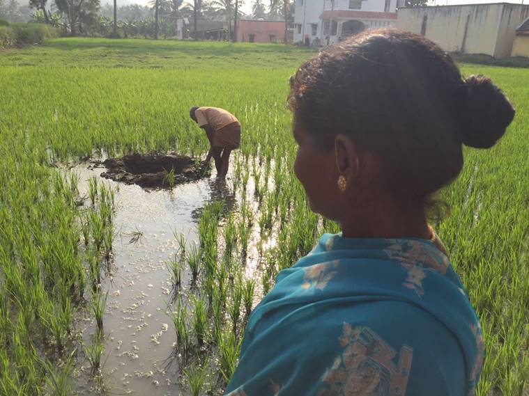 A paddy field in Vellore which also has a similar crater.