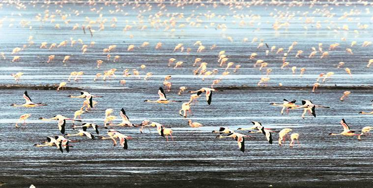 More then thousand greater and lesser flamingos visit the Sewri Mudflats each year. These migratory wetland birds use Mumbai as a transit point.The bird lover people are gather and enjoying to observe them at Sewri,Ghaslet Bandar in Mumbai on Sunday evening. Express Photos By Pradip