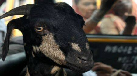 goat, goat steal, killed, thief killed, goat thief killed, goat thief, pandesara goat theft, gujarat goat stealing, gujarat goat theft, indian express news, india news