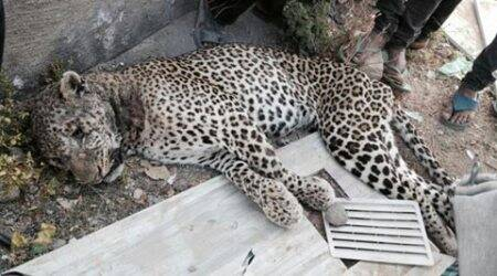Leopard found dead in Gujarat's Junagadh district