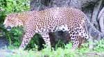 4 leopard skins, live pangolin seized in Nabarangpurdistrict