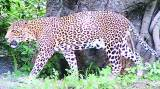 Leopards on the prowl in Junnar