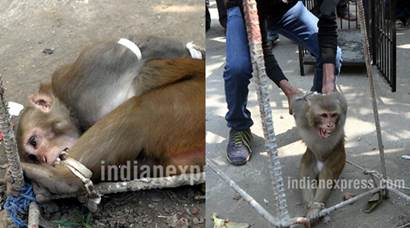 Monkey's six-month reign ends in Mumbai