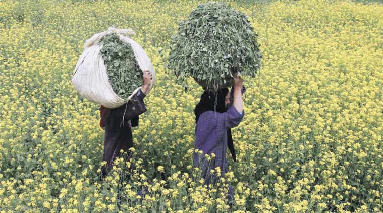 GM Mustard, Poor Man's Food Jowar