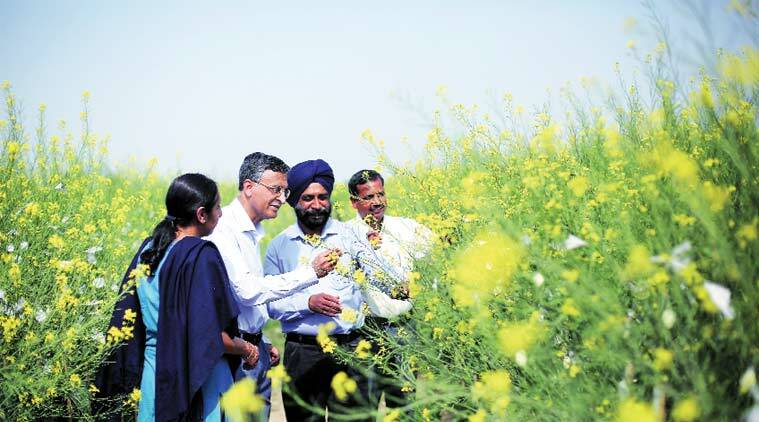 Deepak Pental (second from left) with fellow scientists at a mustard trial field in Jaunti village of North West Delhi. (Express Photo Oinam Anand)