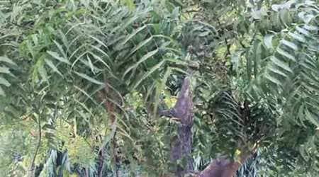 neem, neem tree, india trees, india vegetation, neem tree india, india neem tree, chandigarh news, indian express