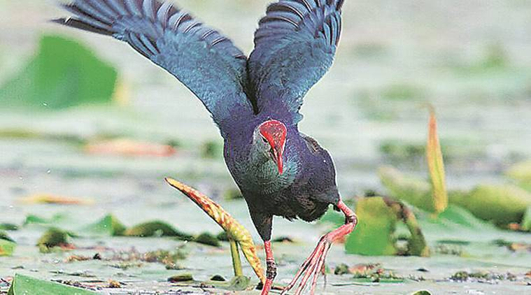 indian migratory birds A huge number of migratory birds fly to the best bird sanctuaries in india during winters indianeagle travel magazine lists best indian bird sanctuaries for bird watching winter holiday trips.