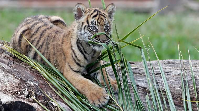 Tiger, tiger reserve, Ministry of Defence, national tiger conservation authority, kolkata tiger reserve, Drone, Wildlife, Wildlife protection, Drone surveillance, jungle under surveillance, endangered species