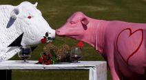 Sculptures in the shape of cows are displayed in a paddock ahead of Valentine's Day on the outskirts of the town of Nowra, south of Sydney, Australia, February 13, 2016. The cow sculptures have become a local tradition to mark Valentine's Day, which is celebrated on February 14. Picture taken February 13, 2016.   REUTERS/David Gray      TPX IMAGES OF THE DAY