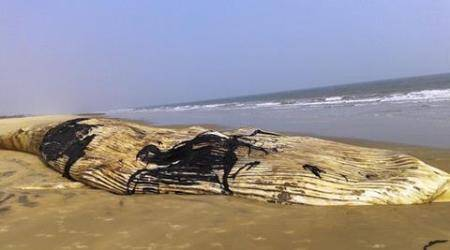 66-feet-long dead whale washed ashore on Odisha beach