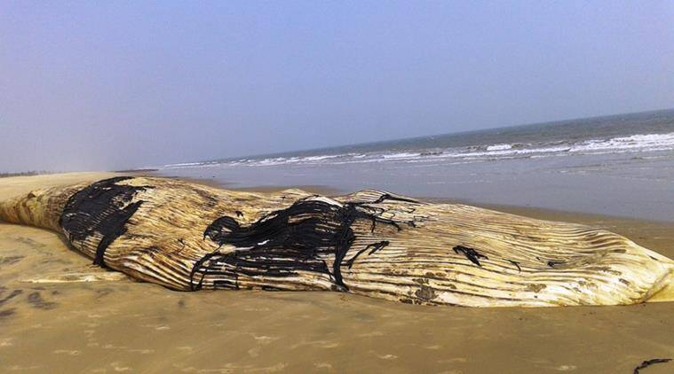 whale, whale beached, dead whale, whale ashed shore, whale odisha beach, beached whale Odisha, Odisha news, india news, latest news