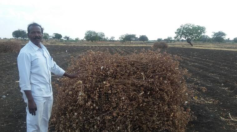 A farmer with his cotton crop ravaged due to lack of water. Express photo
