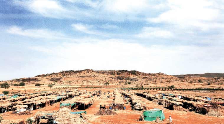 A cattle camp in Wanzarwadi, Beed. (Experss Photo: Amit Chakravarty)