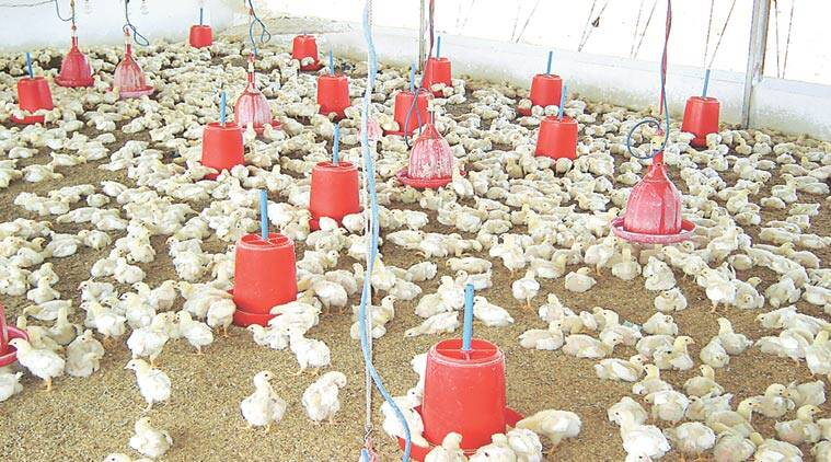 poultry problems, farmers poultry problems, IT solution, poultry IT solution, pune news