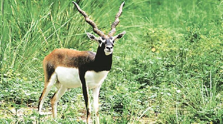 black buck killing, black buk hunting, bhopal, bhopal christian, priest, father arrest, anil martin, black buck case arrest, indian express news, india news