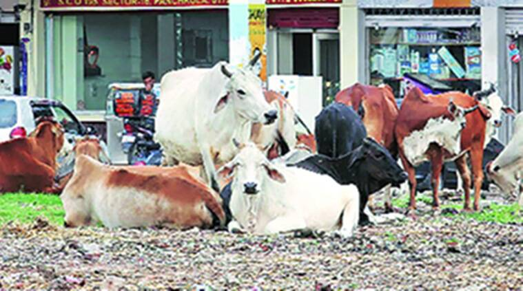haryana, haryana government, cow helpline number, helpline number for cows, beef ban, cow slaughter, cow transport, haryana cows, indian express news, india news