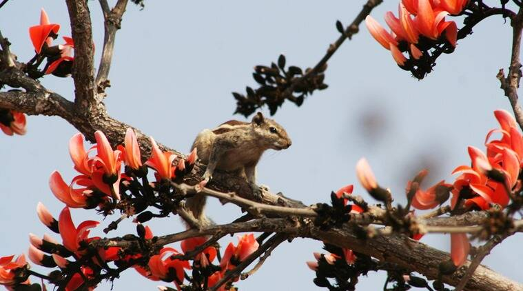 A squirrel makes it way to the Flame of the Forest. (Photo: Pankaj Sekhsaria)