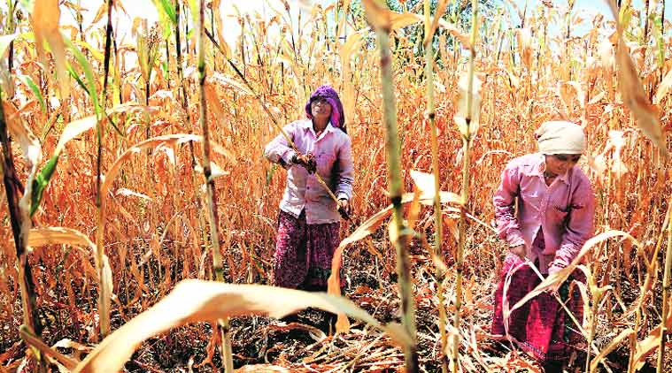 Women work in a jowar field in Osmanabad. Amit Chakravarty