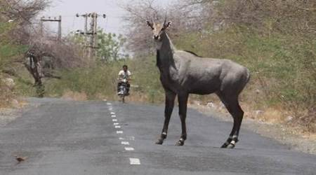 nilgai, nilgai attack, haryana nilgai attack, nilgai attack compensation, punjab haryana high court, nilgai attack death compensation, haryana news, latest news