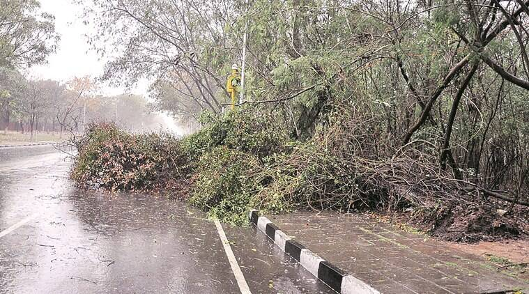 A tree uprooted due to heavy rain near rock garden in Chandigarh on Saturday, March 12 2016. Express Photo by Sahil Walia