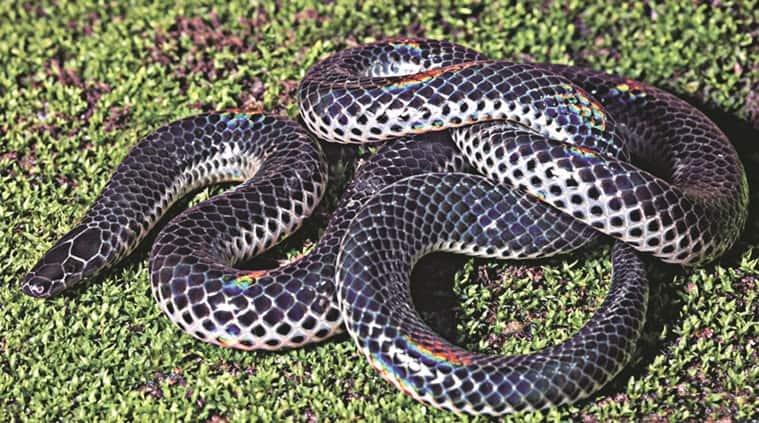 new snake species,  news snake in western ghats, black shieldtail, Neelimkumar Khaire, Katraj Snake Park, pune news
