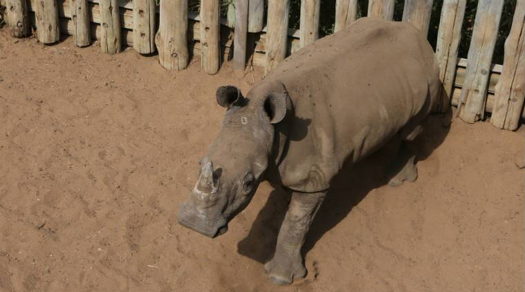 South Africa, Illegal Poaching, South Africa Illegal poaching, South Africa Rhinos killed, South Africa White Rhinos killed, White rhinoceros, White Rhino, White Rhino poaching, Africa news, World news