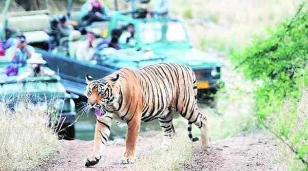 tiger, indian tiger, count of tigers in india, killing of tigers, number of tigers in india, indian tiger,Ranthambhore Tiger Reserve, tiger killed Kota