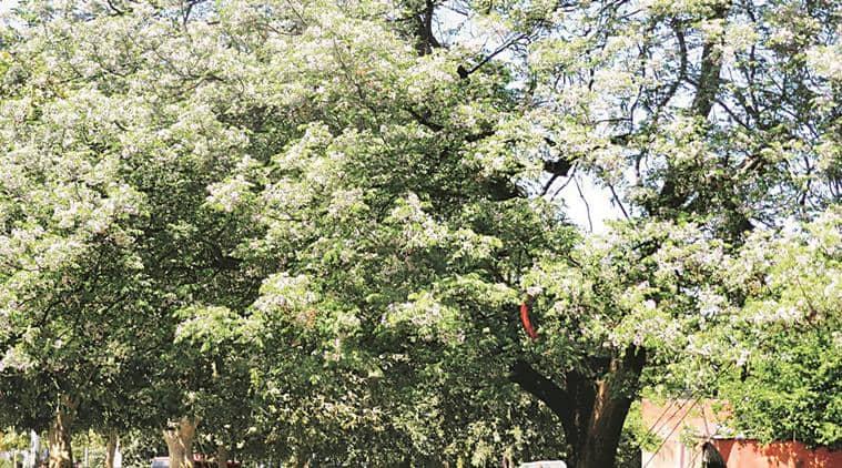 chandigarh, chandigarh plants, plants in chandigarh, Chandigarh Botanical Garden and Nature Park, Chandigarh Botanical garden, persian lilac, neem tree, benefits of neem, Melia azedarach, chandigarh news