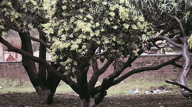 Mango Orchards in sector-29, Chandigarh on Saturday, March 12 2016. Express photo by Jaipal Singh