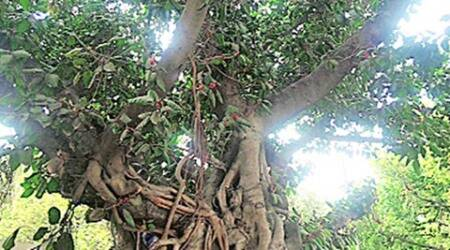 Standing tall Banyan — towering presence and hospitable host that lives throughages