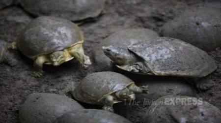 118 endangered Olive Ridley turtle hatchlings let out intosea