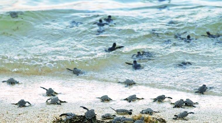 Life is calling: Turtle hatchlings make a mad scramble towards the sea.