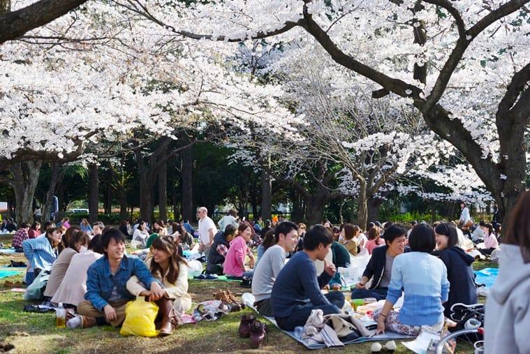 Sakura picnic