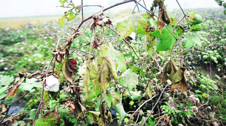 Maharashtra: Pink bollworm infestation down this time, farmers hope for good crop