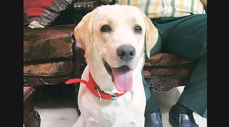 Sugar, an 11-month-old Labrador Retriever, pounced on the intruder who attacked her owner. Express
