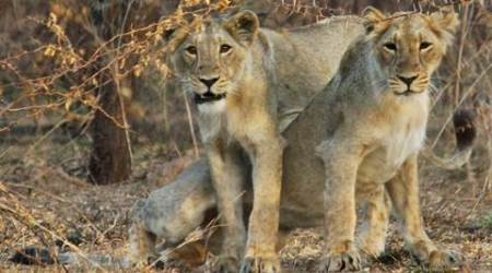 Gir: 3 of 17 lions captured in May found to be 'man-eaters'