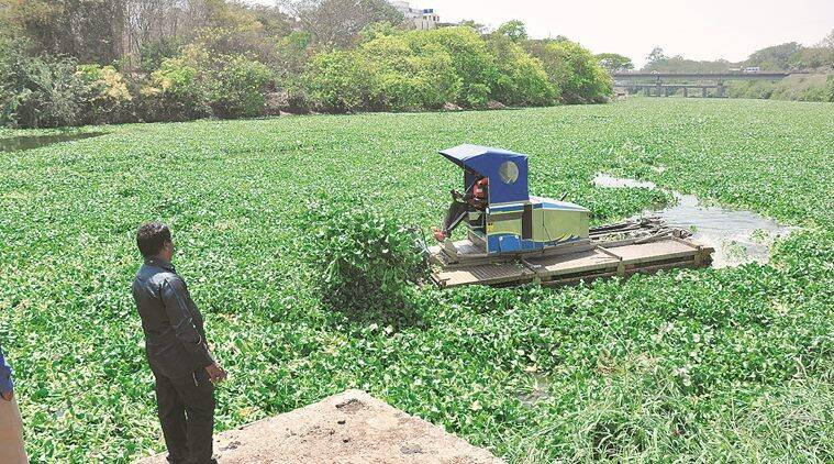 he Pavana river covered with hyacinth.