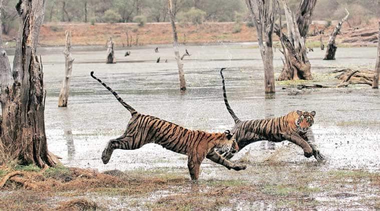 tiger conservation, NTCA, Madhya Pradesh, MP national park, Mowgli, Pench national park, tigers in MP national park, forest authority in MP national park, tiger poaching in pench national park, India news