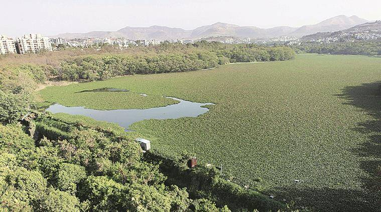 Katraj Lake covered with Water hyacinth since many months Express Photo By Pavan Khengre,16.04.16,Pune.