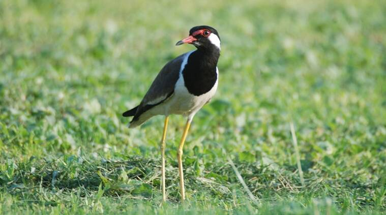 bird watching, titehri, lapwing, sentinel of forests, Mother Nature, bird behaviour, mating, parenting, nesting