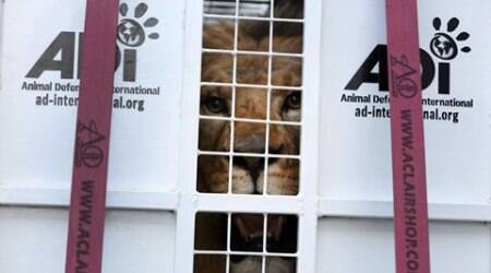 33 rescued circus lions head back to South Africanhomeland