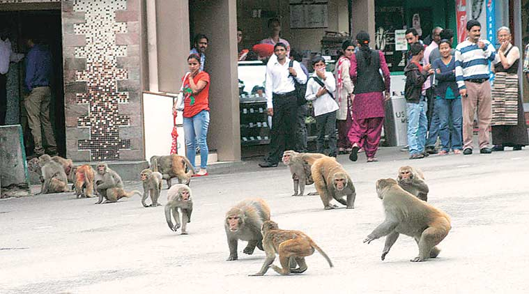 Man vs Monkey: How farmers are grappling with losses that