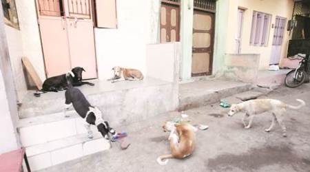 chandigarh stray dogs, stray dogs, stray dog adoption, chandigarh stray dog adoption, chandigarh news, india news, indian express news