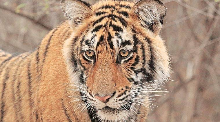 tiger, tiger safari, madhya pradesh, pench national park, mowgli home, tigers in pench, national tiger conservation authority, wildlife activists, India news