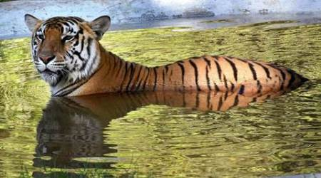 Madhya Pradesh: Tigress found dead at Panna Tiger Reserve