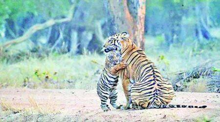 Forest officials call for use of drones to curb poaching, estimate tigercount